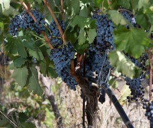 Raddoppiati i consumi vini bio in Italia