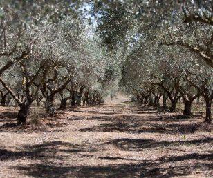 Una storia di successo: L'olio Extra vergine di Oliva Biologico